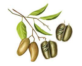 5 htp - planta griffonia simplicifolia