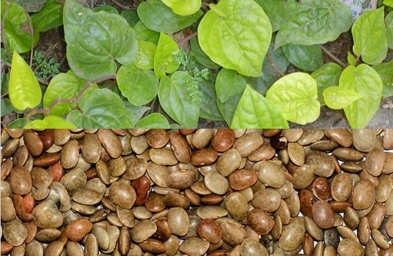 Folhas Piper e Dolichos biflorus