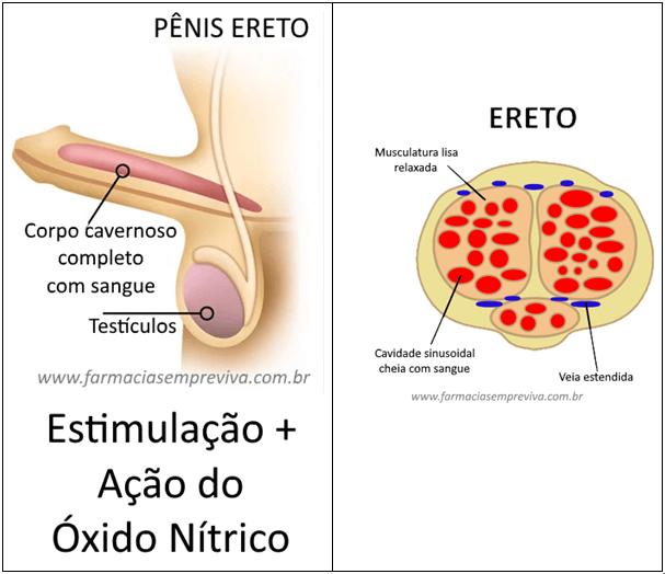 Pênis ereto