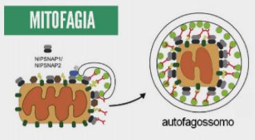 Mitofagia